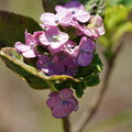 秋の紫陽花