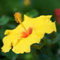 黄色いハイビスカス