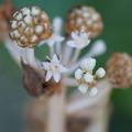 ヤツデの花