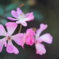 桜木(さくらぎ)