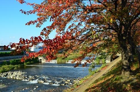 写真: 染井吉野の紅葉 4