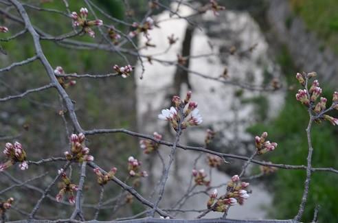 写真: 開花宣言がでました 3