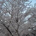 写真: 220140408 上賀茂神社
