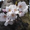 Photos: 2014 樹桜