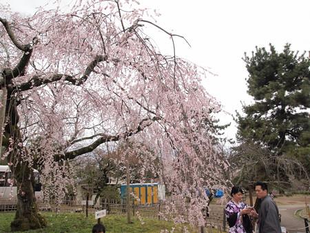 八坂神社のしだれ桜