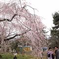 Photos: 八坂神社のしだれ桜