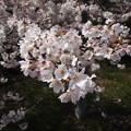Photos: 桜の花