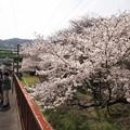 Photos: 山中渓の桜