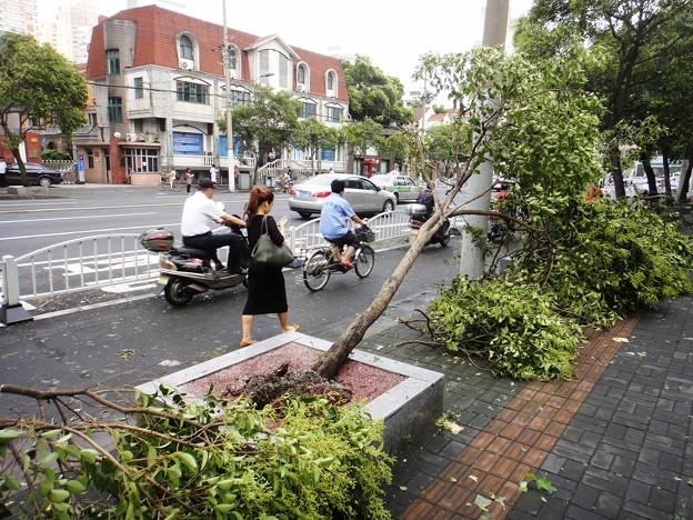 上海台風一過、倒された並木