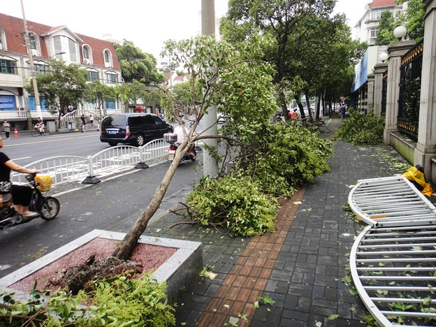 上海台風一過、倒された歩道の並木