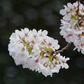Photos: 夕桜 と 川面の花びら