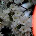 Photos: 夕桜-赤提灯に誘われて