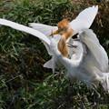Photos: アマサギ-白い雛-3