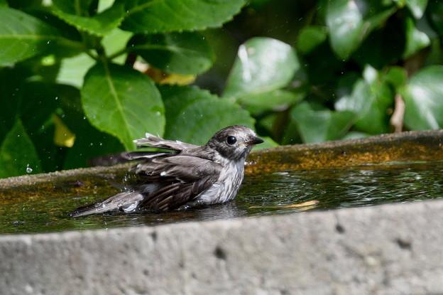 エゾビタキ-水浴び中