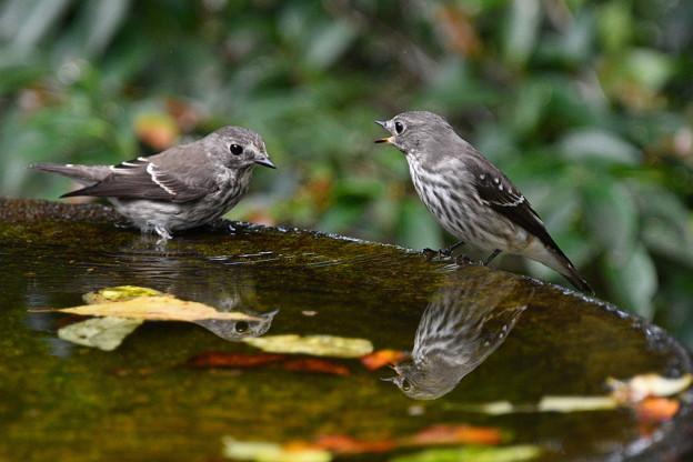 エゾビタキ2羽で水盤に-1