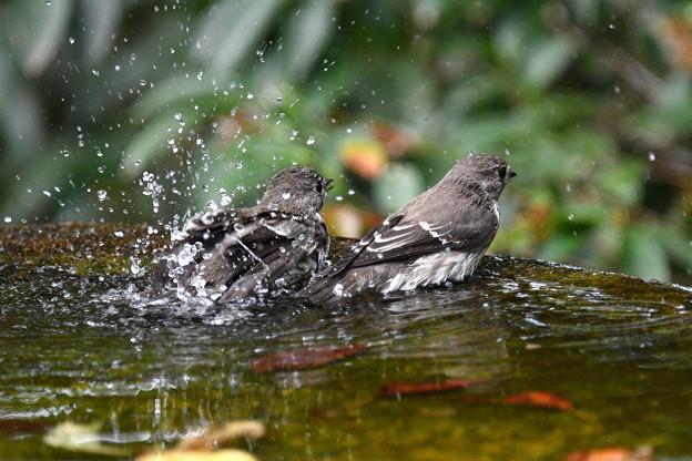 エゾビタキ2羽で水盤に-2