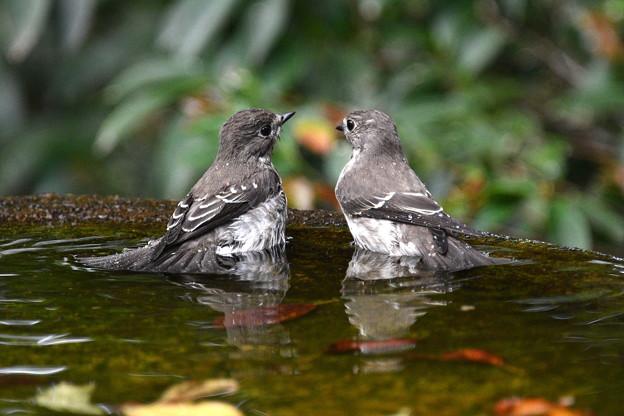 エゾビタキ2羽で水盤に-3