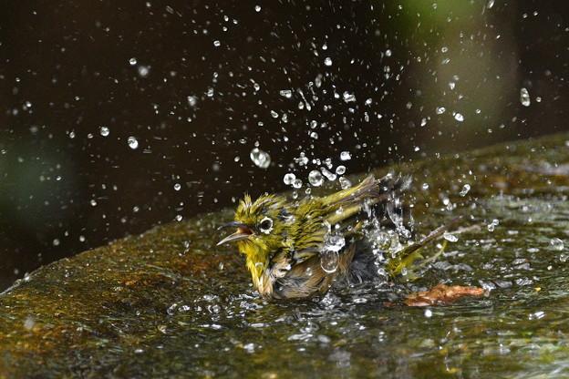 メジロ-激しい水浴び