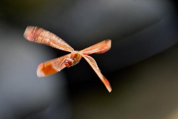 ミヤマアカネ-飛翔