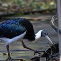 Photos: ムギワラトキ-野鳥園で