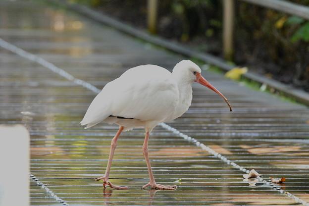 Photos: シロトキ-野鳥園で