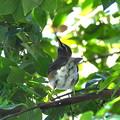 Photos: マミチャジナイ-野鳥園で