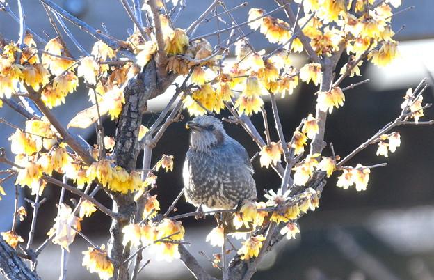 花好きヒヨさん-蝋梅に