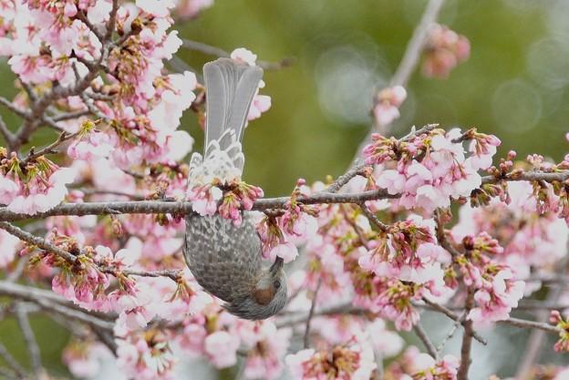 花好きヒヨさん-大寒桜に
