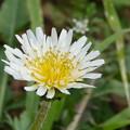 白い花-シロバナタンポポ