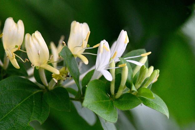白い花-スイカズラ