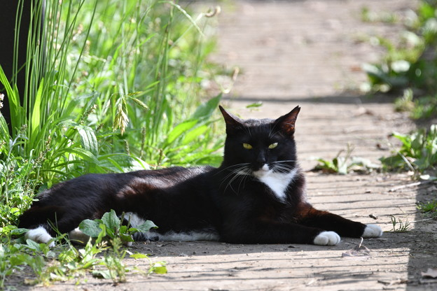 白いソックスの黒猫さん