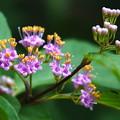 Photos: ムラサキシキブの花
