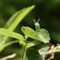 Photos: アカボシゴマダラの幼虫