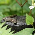 Photos: カナヘビ-今日は
