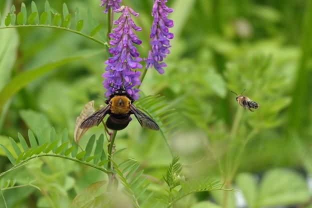 クマバチとミツバチ