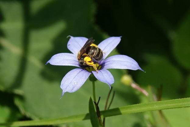 ミツバチ-アイイロニワゼキショウに