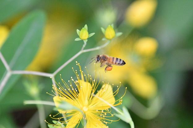 ミツバチ-ビョウヤナギに-1
