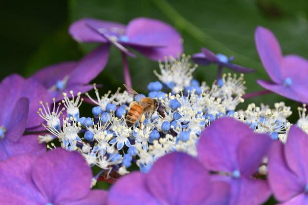ミツバチ-アジサイに