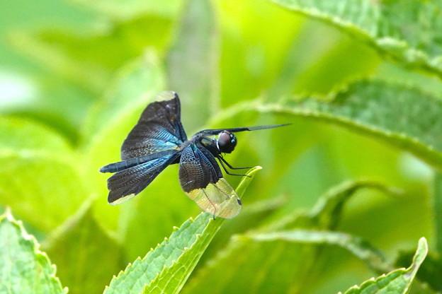 チョウトンボ-紫陽花の葉に-2