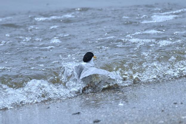 コアジサシの海水浴-1