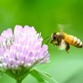 ミツバチ-ツメクサに-1