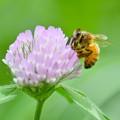 ミツバチ-ツメクサに-2