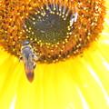 ハチ-向日葵に
