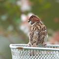 Photos: スズメ若鳥-自転車のカゴに