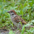 Photos: スズメ若鳥-叢に