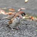 Photos: スズメ幼鳥-パンを咥えて