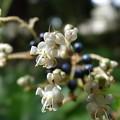 ヤブミョウガの花と実