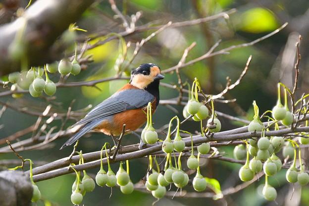 ヤマガラ-エゴの実の季節