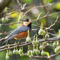 Photos: ヤマガラ-エゴの実の季節