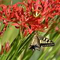 曼珠沙華-蝶と1